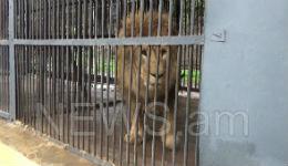 7–ամյա առյուծն իրեն խնամողին ճանկելուց հետո վանդակի խորքից դուրս չի գալիս  (տեսանյութ)